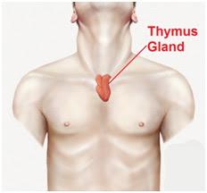 Thymuskörteln - ditt centrum för energi och hälsa