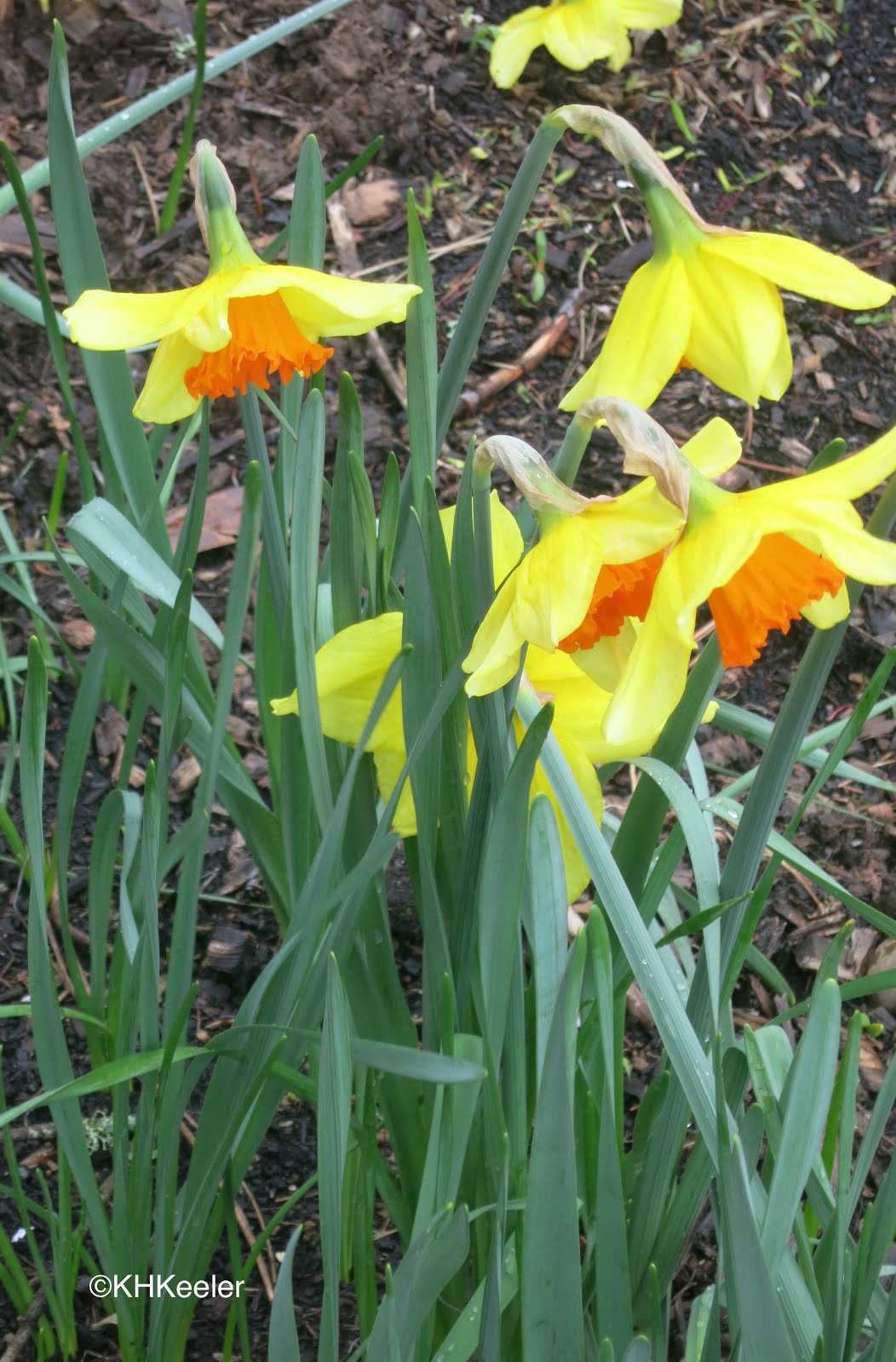 a wandering botanist plant story everybody loves narcissus and daffodils