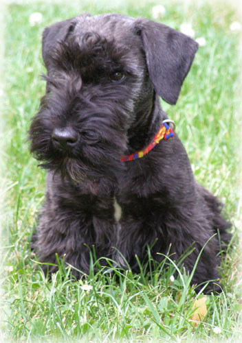 Everything About Your Cesky Terrier LUV My Dogs