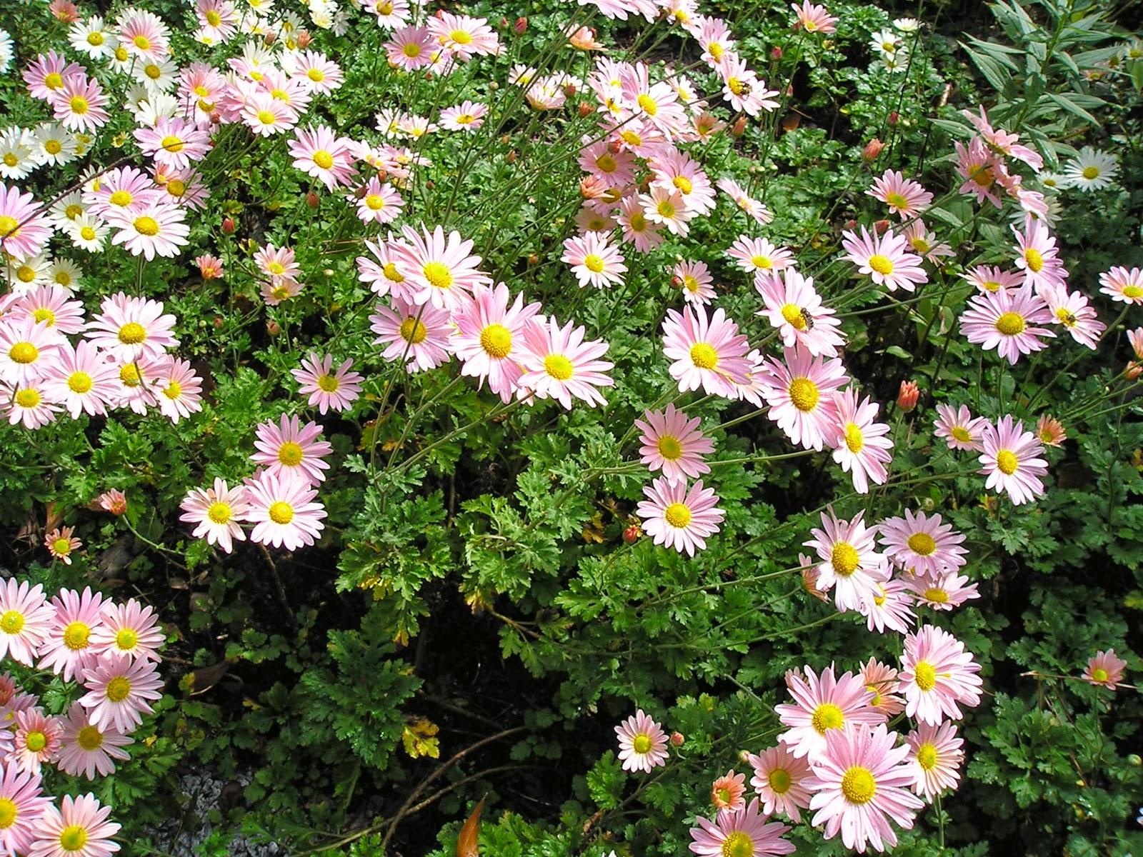 Carol S Garden: Carol's Greenville NC Garden: Chrysanthemum Rubellum