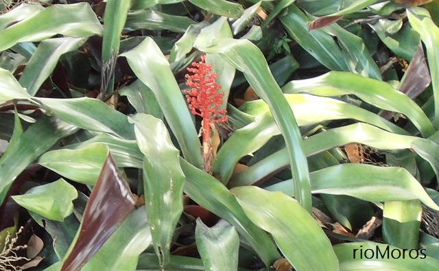 Bromelia roja Aechmea miniata