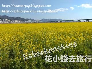 釜山油菜花