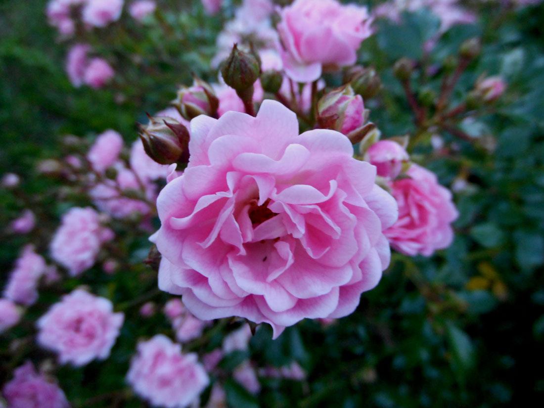 Rosa Fairy