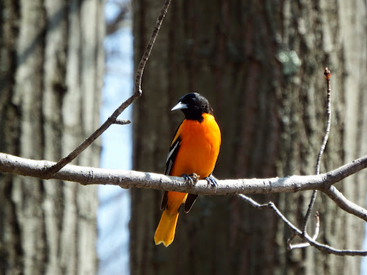 Male Northern Oriole Just Arrived--Thin and Hungry!
