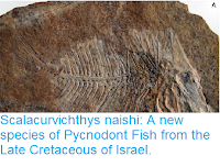 http://sciencythoughts.blogspot.co.uk/2017/08/scalacurvichthys-naishi-new-species-of.html