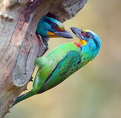 Two colorful woodpeckers facing each other in a hole in a tree