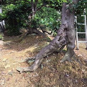 根の上がってしまっている猪堤に植えられた樹木