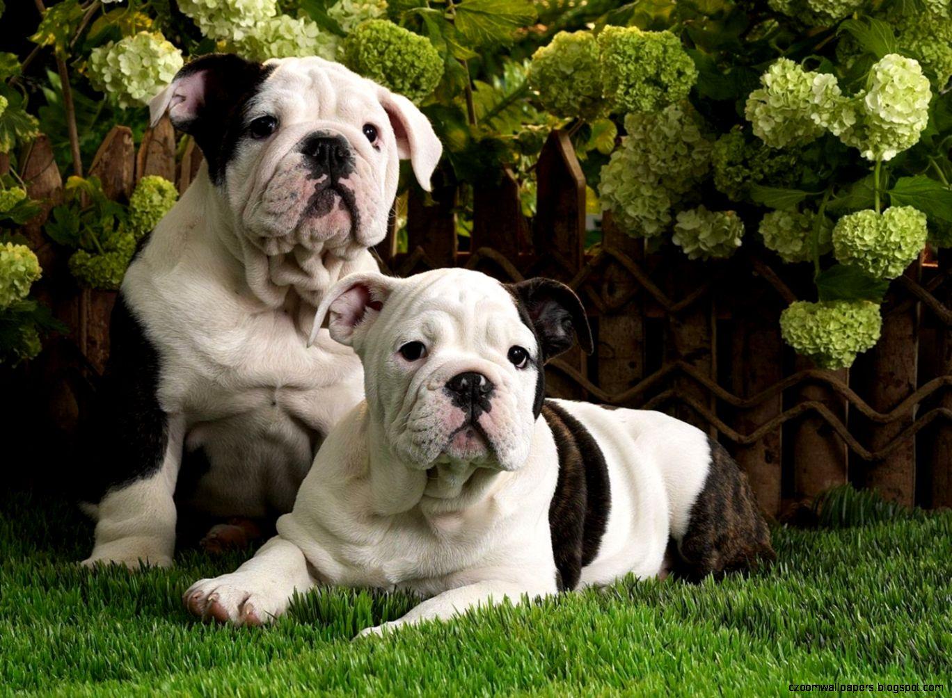 american bulldog desktop picture hd wide wallpapers of bulldog