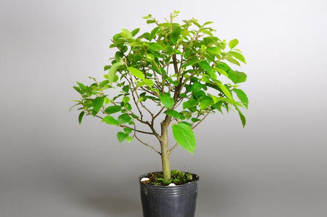 エノキM(榎 小品盆栽)Celtis sinensis bonsai