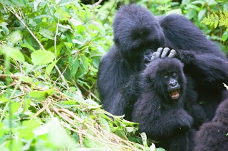 Entagered Mountatin Gorillas of Bwindi, Uganda