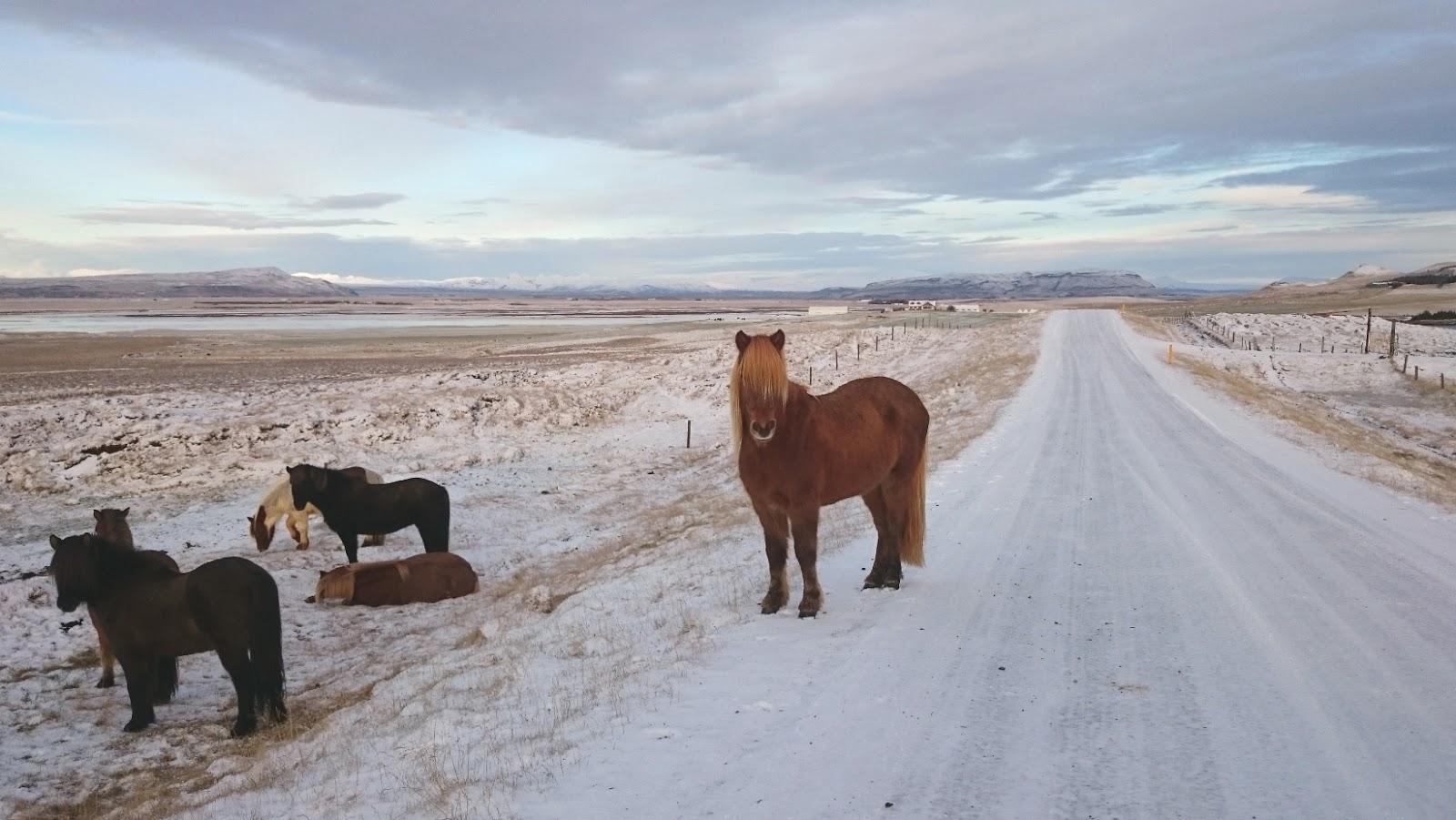 islandzkie konie, islandzka droga, Islandia, zwiedzanie Islandii, blog o Islandii, atrakcje Islandii