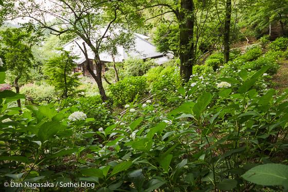 浄慶寺の紫陽花畑