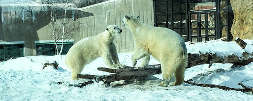 Polar Bears at Vilas Zoo