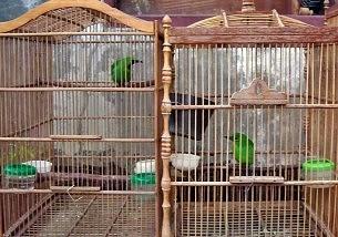 Bagaimana Cara Beternak Burung Cucak Hijau Agar Berhasil BAGAIMANA CARA BETERNAK BURUNG CUCAK HIJAU AGAR BERHASIL