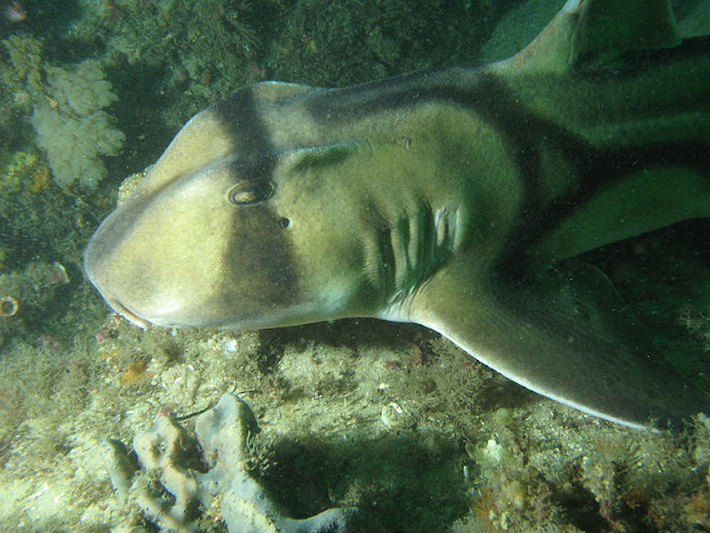 Port Jackson Shark Facts