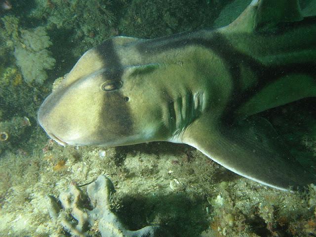 Port Jackson Shark Facts