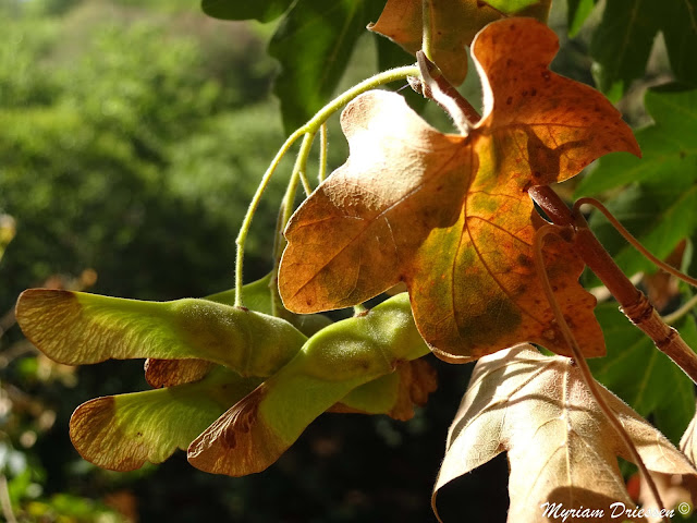maple leaves and seeds