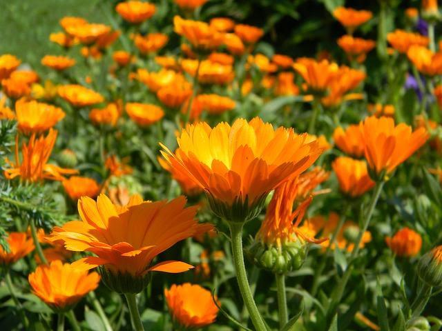 Caléndulas en plena floración