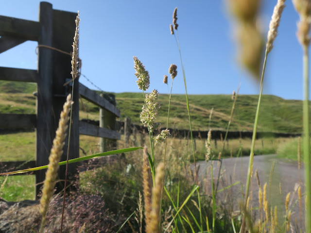 Various grasses on side of farm road in West Yorkshire; one with flowers in focus.