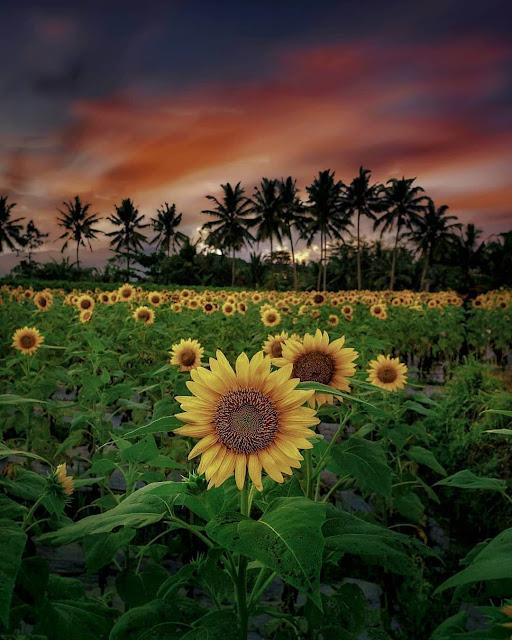 kebun bunga matahari magelang