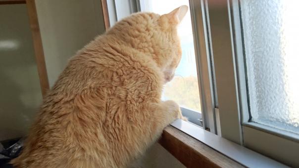 窓から外を見ている興味深々の猫