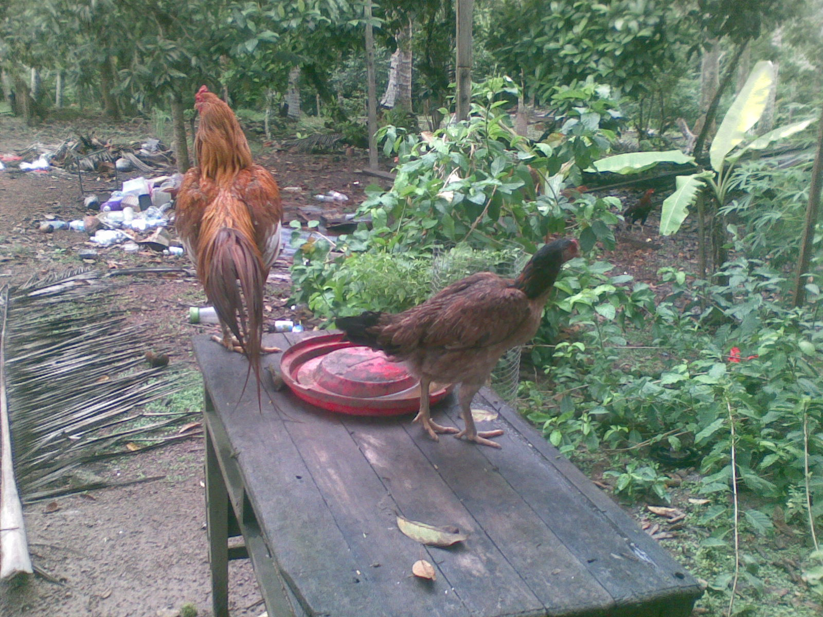 Ayam Siam Ayam Sabung Untuk Dijual Ibu Coklat
