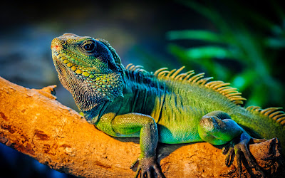 Iguana wallpaper hd