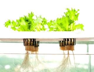 Nutri penting tanaman hidroponik