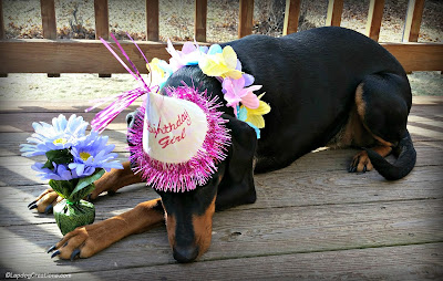 rescued doberman mix dog turns two years old birthday hat