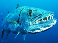 Barracuda Animal Pictures