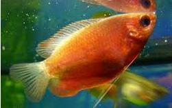 Ikan Hias Gurami Madu (Honey gourami) Menghirup Udara