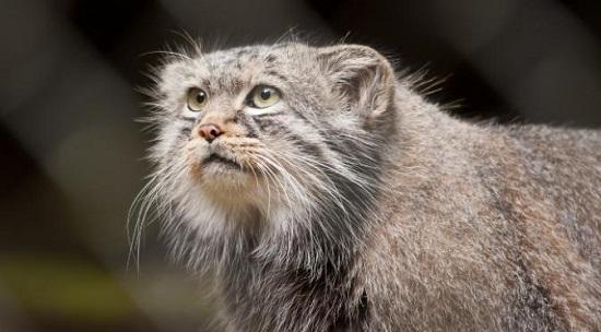 kucing paling tua dan langka