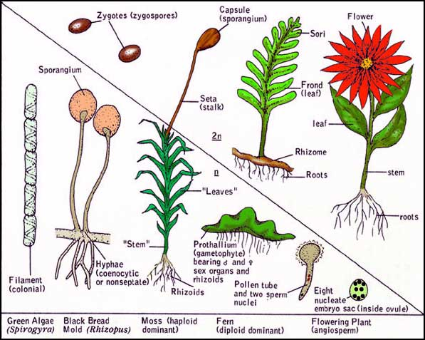 Summary of alternation of diploid with haploid phases in Kingdom Plantae and Fungi