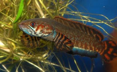Ikan Channa Bleheri