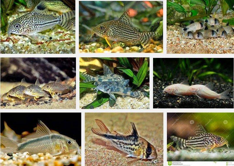 ikan hias yang bisa di campur