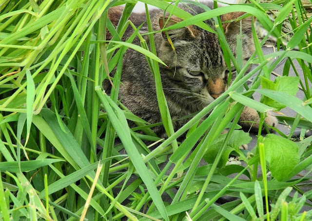 tabby cat hidden in grass