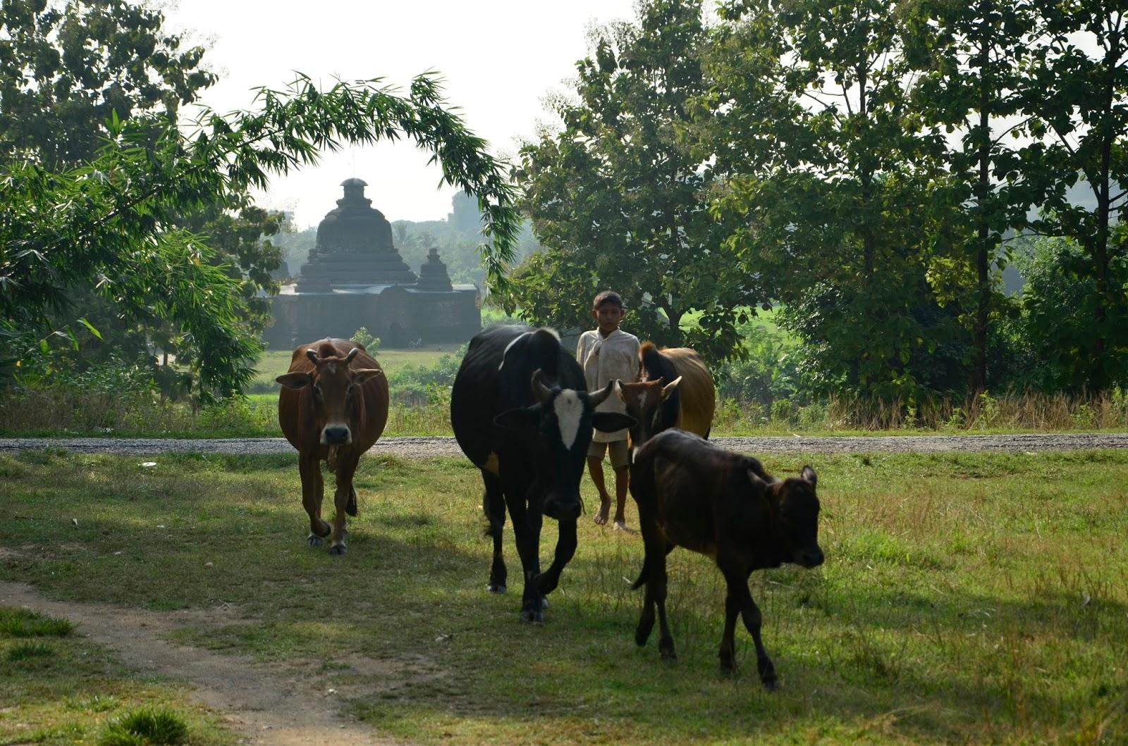 Ganado, pastorcillo y templo de Mrauk U