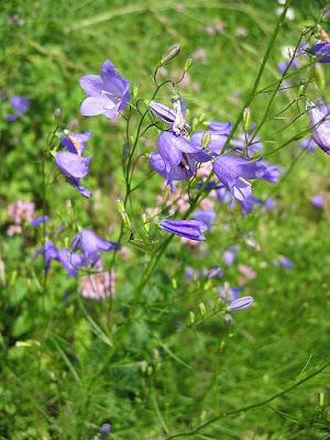 Harebell (Campanula rotondifolia), Shakespeare flower, folklore
