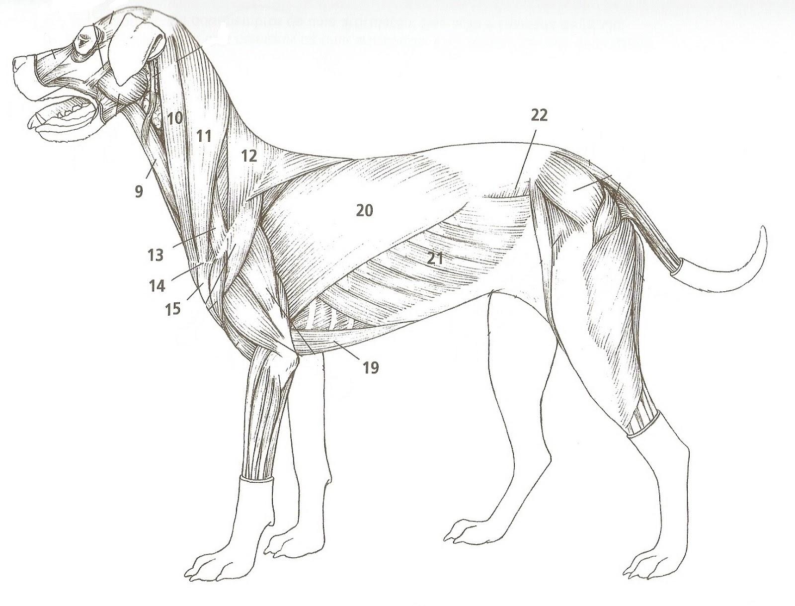Blog de veterinaria: Anatomia Membro Torácico