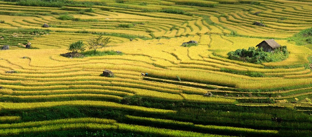 Surprised By The Beauty Of Rice Terraces Ripe Golden Fields From Sun World Fansipan Legend 1