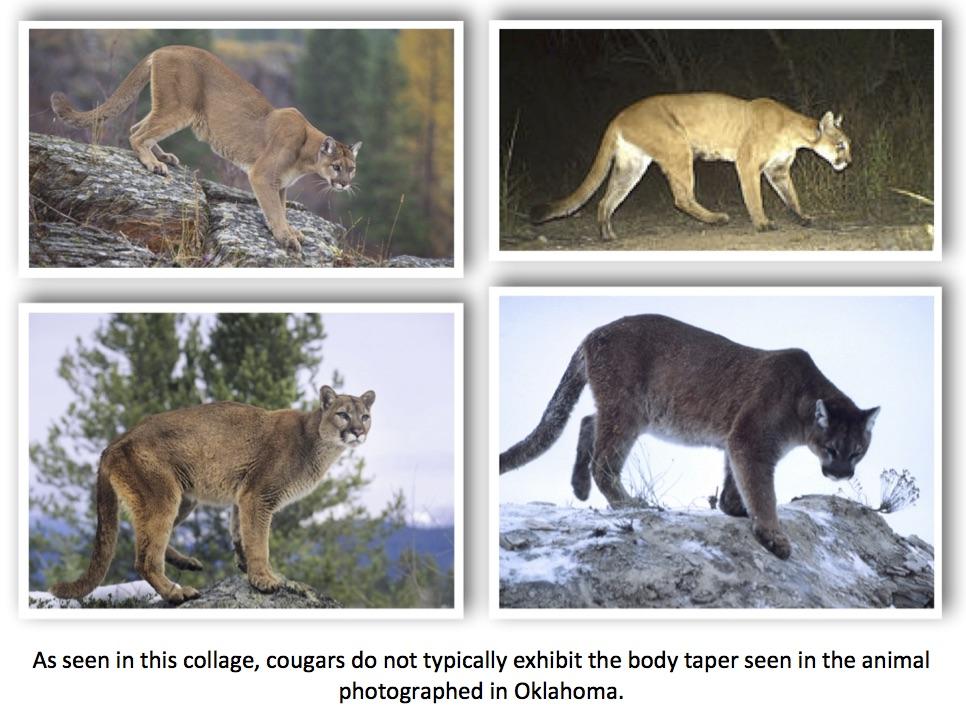 oklahoma cougars