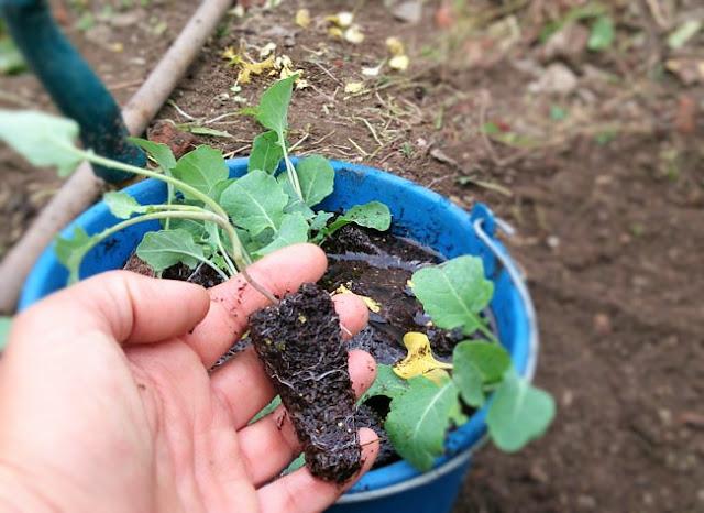 plantones de brocóli