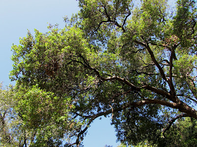 Coast live oak,Quercus agrifolia, Fish Canyon Trail