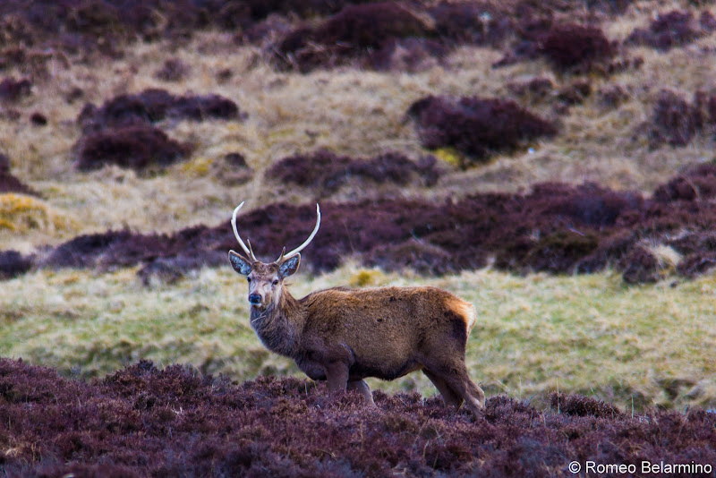 Cairngorms National Park Red Deer Scottish Highlands Road Trip Itinerary