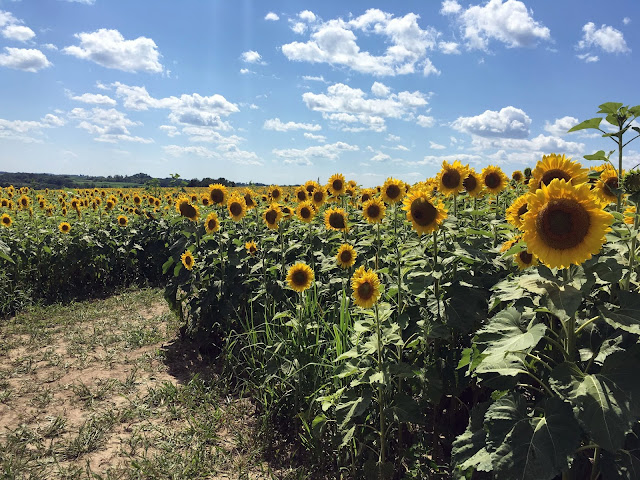 sunflowers, sunflower maze, flower maze, Wisconsin, Summer, Anne Butera, My Giant Strawberry