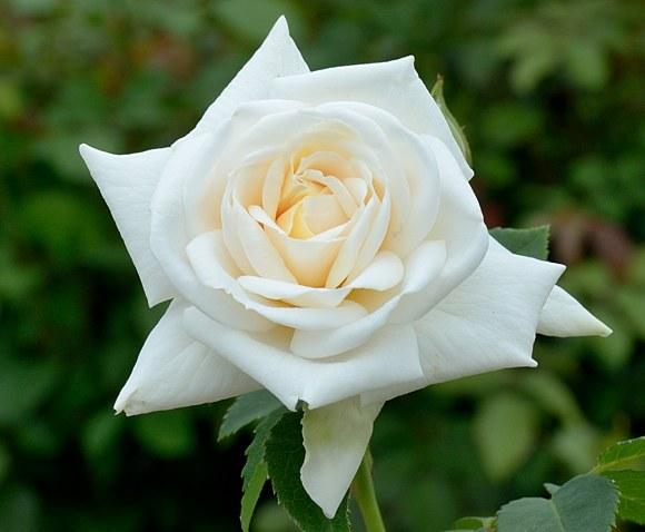 Ilse Krohn Superior сорт розы Кордес фото купить саженцы Минск питомник