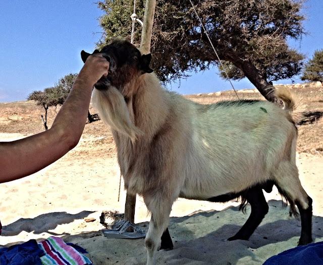 Wild white goat - Drenia islands - Ouranoupolis - Chalkidiki - Greece
