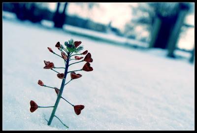 bunga mekar di salju
