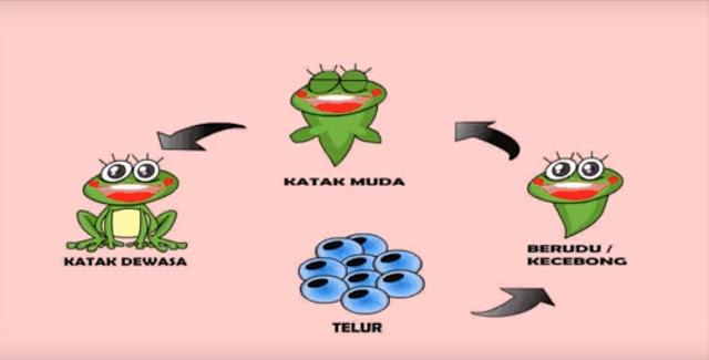 makalah metamorfosis katak