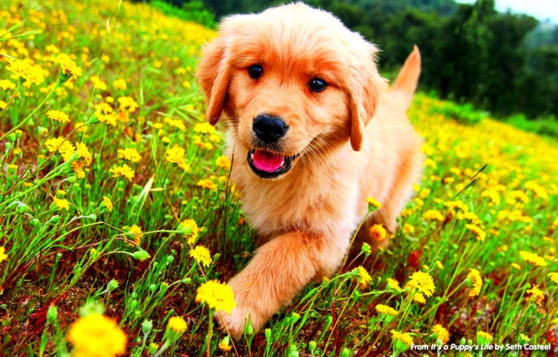 Golden Retriever Puppy Wallpaper Wallpapers Supreme